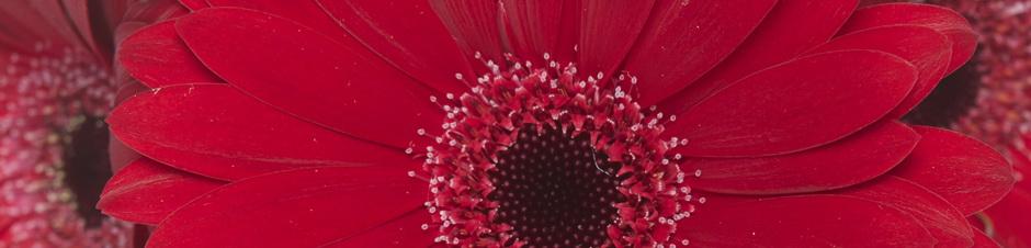 IFD_Flower_Trends_VibrantVibe_RosaFlora_PoshGerberaDaisy940